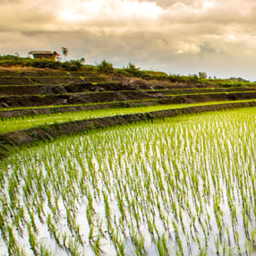 Asian Rice Fields